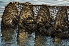 Ostras e mexilhões da Barra do Aririú: liberados