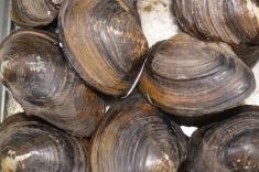 Interdição no cultivo de ostras e mexilhões