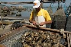 Cultivo de moluscos interditado na Barra do Aririú