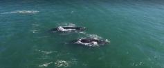 Duas baleias são avistadas na Guarda do Embaú